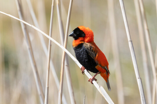 Southern Red Bishop (Euplectes orix)  breeding male perched on reed, Vrolijkheid NatureReserve, McGregor, Western Cape, South Africa