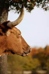 Wall Mural - Cow with horns shows sleepy Texas longhorn with fall color blurred in background.