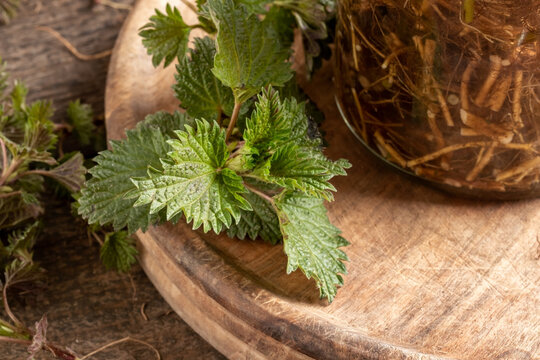Nettle plant next to a bottle of tincture prepared from nettle roots