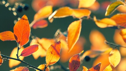 Wall Mural - Colorful yellow red orange autumn leaves on cool green background. Macro closeup, shallow DOF, 4K  UHD.