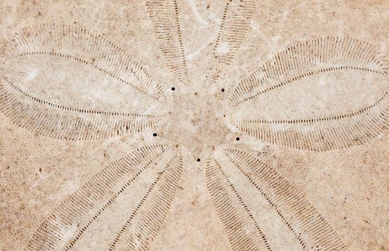 Closeup view of a dried sand dollar skeleton