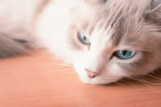White fluffy cat lies sadly on the floor.