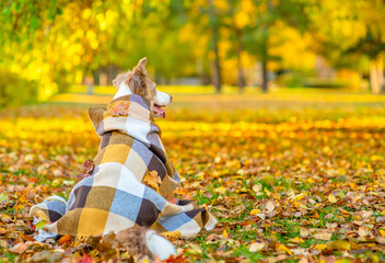 Pensive Border collie dog covered warm plaid sits at autumn park and looks away on empty space