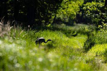 Młody żuraw zwyczajny Grus grus na spacerze w lesie, schylony i zgarbiony młody ptak spaceruje ścieżką