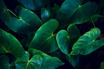 Wall Mural - Anthurium in the natural background has a lush green color. tropical leaves colorful flower on dark tropical foliage nature background dark green foliage nature