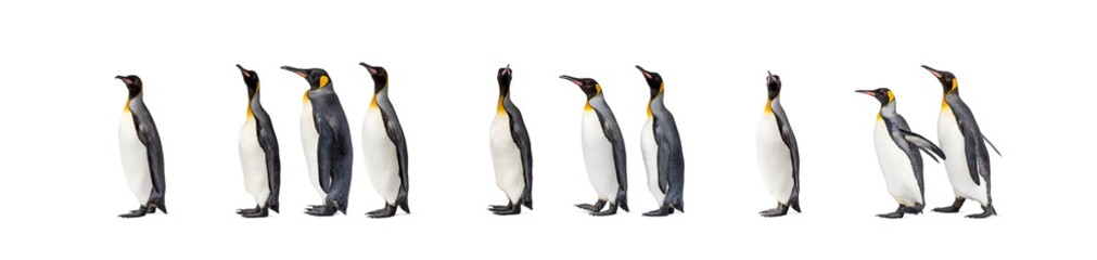 Colony of a King penguin walking together in a row
