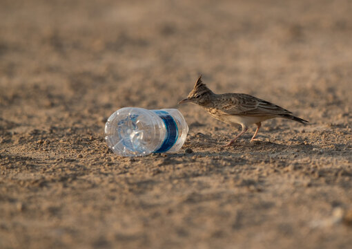 Crested Lark and the garbage dump, bahrain