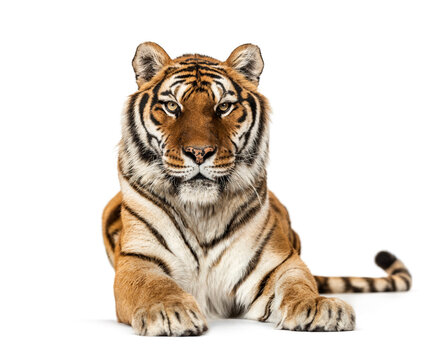 Tiger lying down staring at the camera, isolated on white