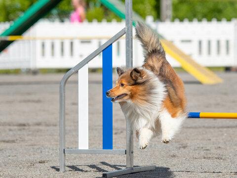 Shetland Sheepdog jumps over an agility hurdle on dog agility course