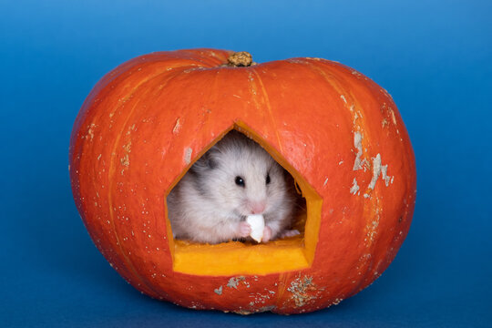 little hamster eating seeds inside a pumpkin. Halloween concept