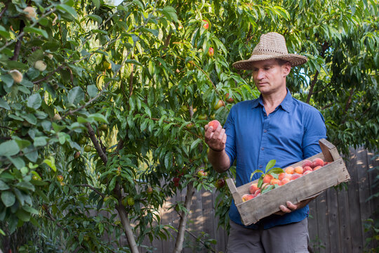 Adult man picking peaches from the orchard