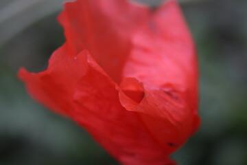 Obraz czerwony mak - fototapety do salonu