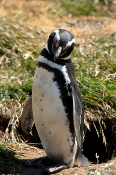 Portrait of a Magellanic Penguin on Magdalena Island, Chile