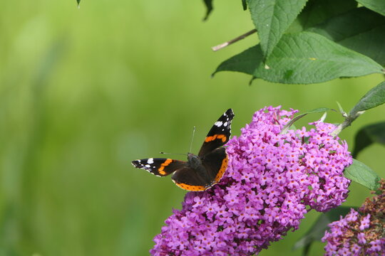 Butterfly on flower. A butterfly spreads its wings and sits on a lilac bush.