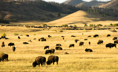 American Buffalo in Custer State Park in the Fall.