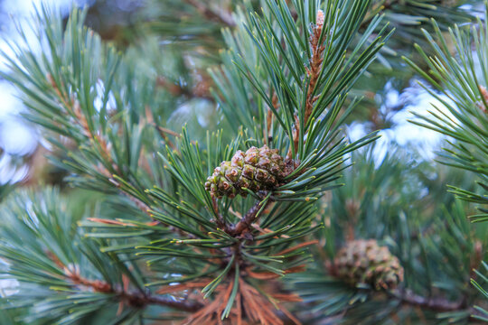 Pine cone in pine with unfocused background. Concept fruit of a tree