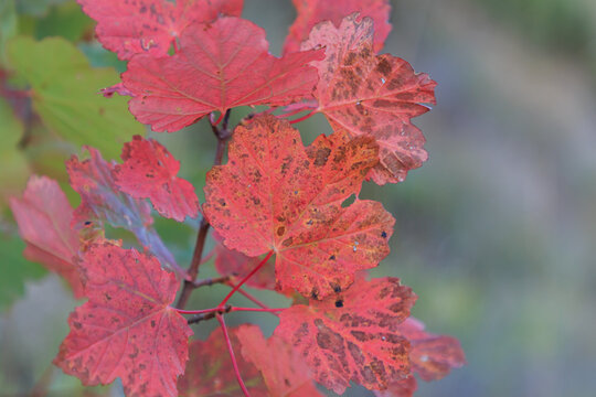 Red Viburnum opulus leaf on the plant in Autumn with unfocused background. Seasonal plant concept