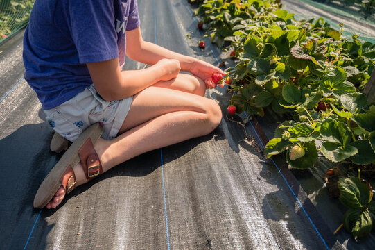 Causal young girl sitting on ground and picking a strawberry at a strawberry farm