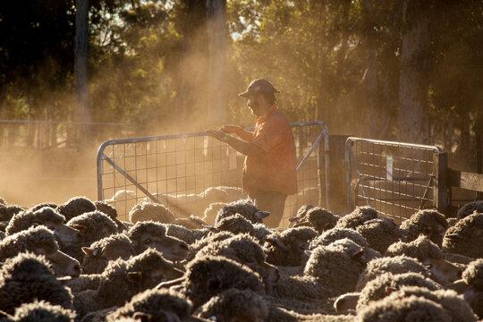 Farmer and woolly merino sheep in dusty yards