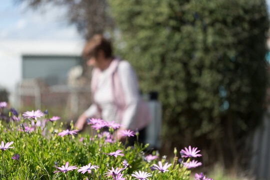 Daisy flowers in garden with lady blurred in background