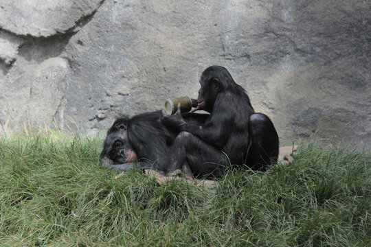 Chimp parent and child at lunch time