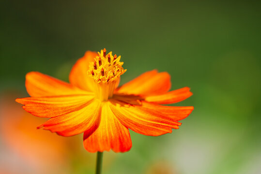 Beautiful Yellow Cosmos (Cosmos sulphureus) flower blooming in the autumn garden, closeup. Natural green background with copy space