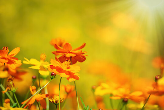 Beautiful Yellow Cosmos (Cosmos sulphureus) flowers blooming in the garden on a sunny autumn day. Copy space.