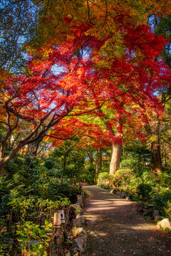 Autumn colors in a park in Tokyo, Japan, The red and yellow leaves of the Japanese maple, acer palmatum