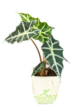 Alocasia.Isolated flower in pot.