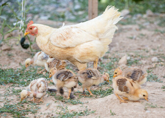 Photo sur Plexiglas Poules hen walks with young chicks outdoors