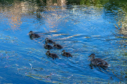Mother Duck and Ducklings, reflection , Swimming, Water- Female Mallard duck