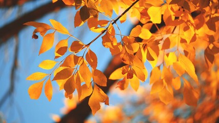 Wall Mural - Yellow, red and orange tree leaves over blue sky background. Shallow DOF.