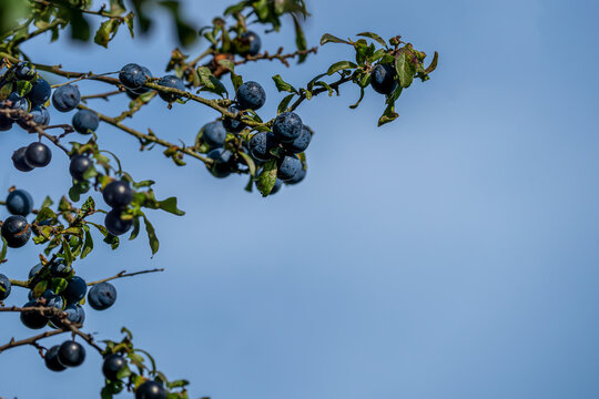 Close up selected focus  of ripened sloe berries on a blackthorn (prunus spinosa) tree in the autumn ready for picking and adding to vodka to make sloe gin