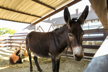 Cute funny donkey on farm. Animal husbandry