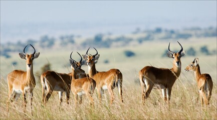 Group of antelopes the impala.