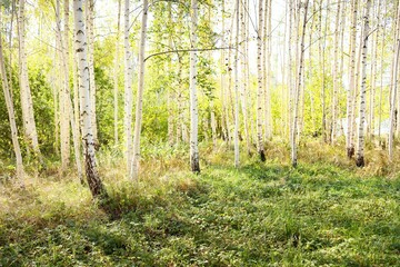 Picturesque scenery of the golden birch forest on a clear sunny day. Early autumn in Latvia, Europe. Pure nature, environmental conservation, eco tourism. Tree trunks, natural leaf texture