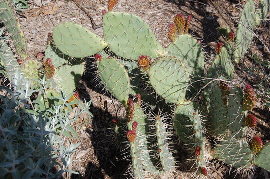 New growth on a coastal prickly pear cactus growing in the Santa Monica Mountains, California.
