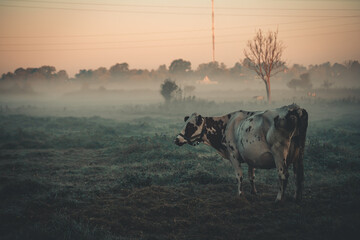 Printed kitchen splashbacks Cow cow in the morning mist