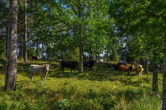 Grazing Cows In A Grove