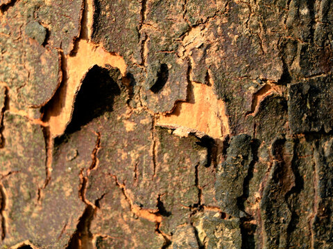 Dried bark of  African tulip or spathodea tree