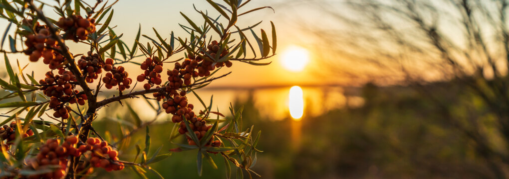 Sea buckthorn in front of the Markkleeberger Lake at sunset