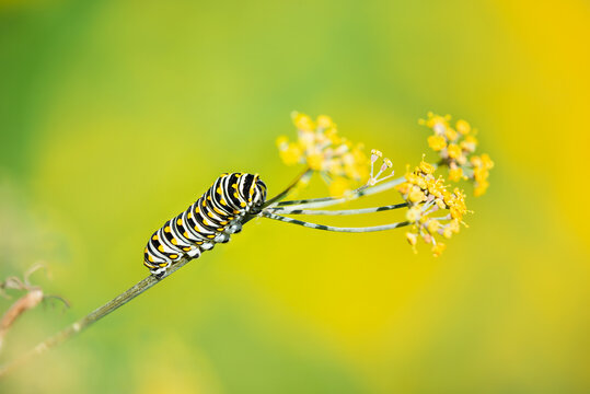 Black Swallowtail butterfly (Papilio polyxenes) caterpillar feeding on dill plant. Natural green and yellow background with copy space.