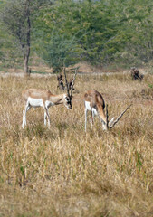 Blackbuck antelope in a field