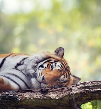 Bengal tiger resting on a tree.