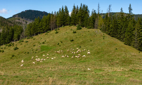 A herd of sheep grazing in a clearing in the forest in the mountains.