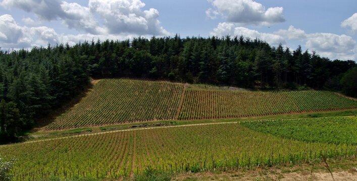 Vignoble bordé de sapins en Bourgogne.