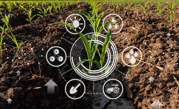 Maize seedling in cultivated agricultural field with graphic concepts modern agricultural technology, digital farm, smart farming innovation