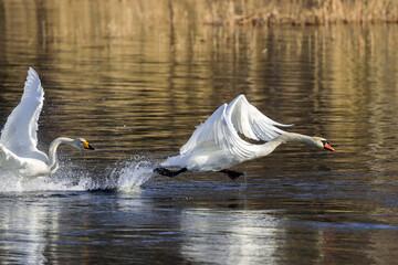 whooper swan and mute swan