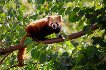 Adorable endangered red panda walking on branch. Red panda can be found in Nepal, India, Bhutan, China and Myanmar is under threat because of habitat loss, poaching, the pet trade, and forest fires.