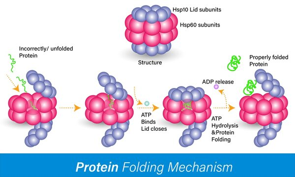 Protein folding, refolding of improperly or unfolded proteins inside Hsp 60 or heat shock protein chaperon inside the cell vector illustration